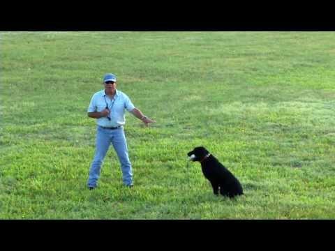 How to steady a labrador retriever, golden retriever, with e collar, electronic collar