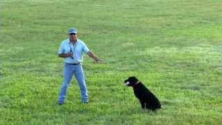 How To Steady A Labrador Retriever, Golden Retriever, With E Collar, Electronic Collar