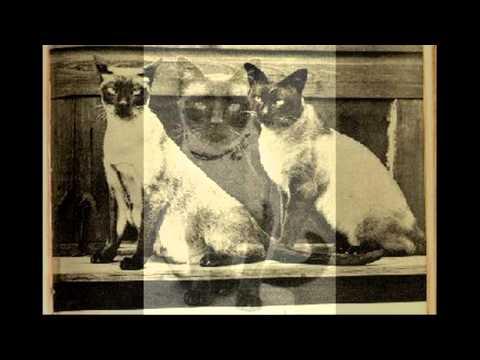 Cats Thailand 2 (แมววิเชียรมาศโบราณ)
