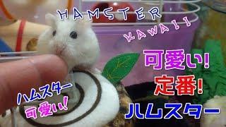 【可愛い!定番!ハムスター】☆ハムスター可愛い☆Hamster cute healing☆ thumbnail