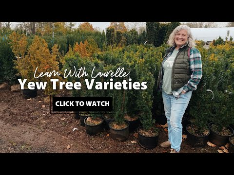 Yew Tree Varieties