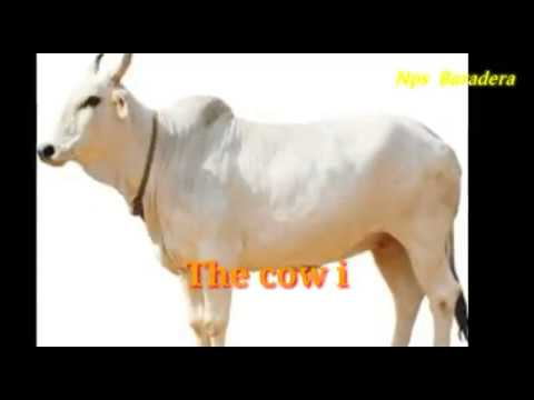 english essay the cow  english essay the cow