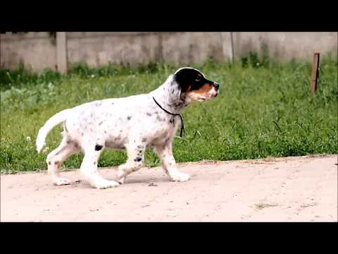 english setter puppies two boys