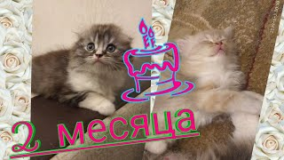 265.  2 месяца Котятам Шотландской вислоухой кошки