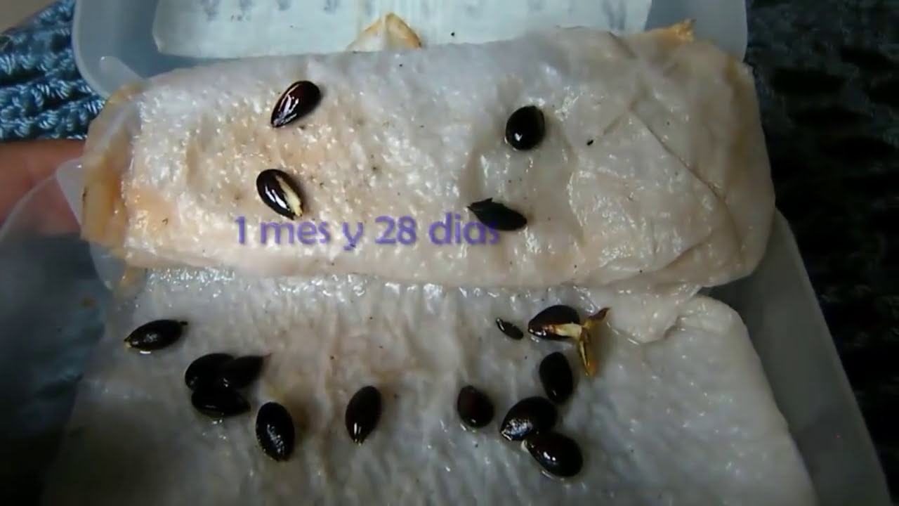 Tiempo de germinacion varias semillas parte 1 youtube for Semillas suculentas chile