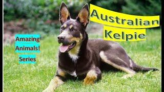 Australian Kelpie  Pet dogs  intelligent sheepdog