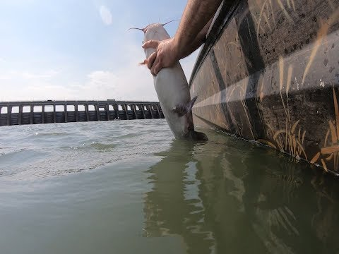 Using Asian Carp Scraps To Catch Blue Catfish Below Kentucky Lake
