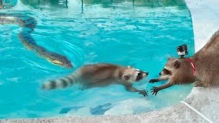 Anaconda takes (and Eats) Raccoon as it Wears a GoPro