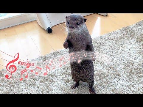 カワウソ コタロー 突然仁王立ちでテレビを見始める Kotaro the Otter Standing on Two Legs and Watching TV