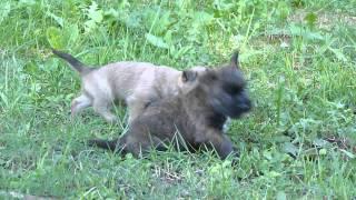 Cachorros Cairn Terrier 15 De Febrero 2014 :)