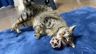 凶暴猫と遊んであげていたらまたたびをキメておかしくなりました…