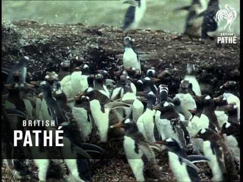 Extra ! Xmas Round Up - Penguins On Falkland Islands (1969)
