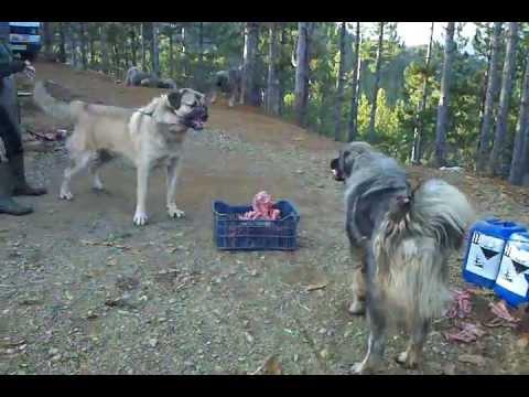 illyrian shepherd Albanian Dog