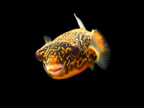 Adding Rare Rainbowfish To Puffer Fish Aquarium