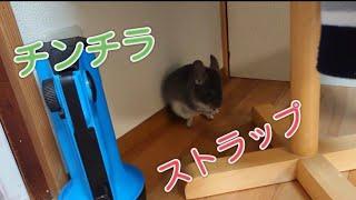 【チンチラ】 チンチラストラップ! cute chinchi…