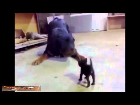 little cat fight big dog so funny 2015