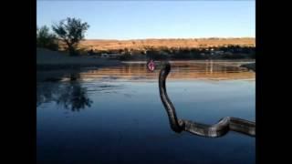 Real Titanoboa Prehistoric Snake Running on water