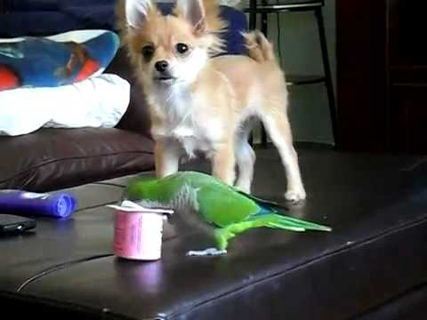Dog and Parrot Fight over a Cup of Yogurt