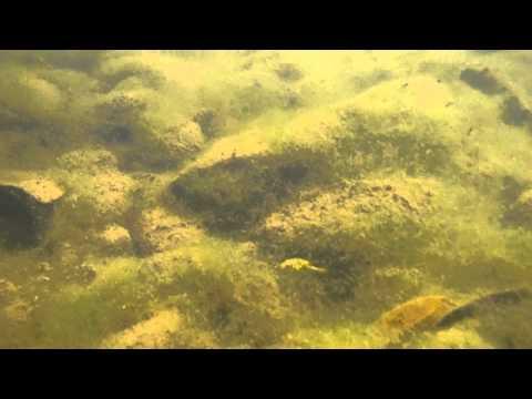 Dwarf Puffer, Tetraodon Travancoria In The Wild
