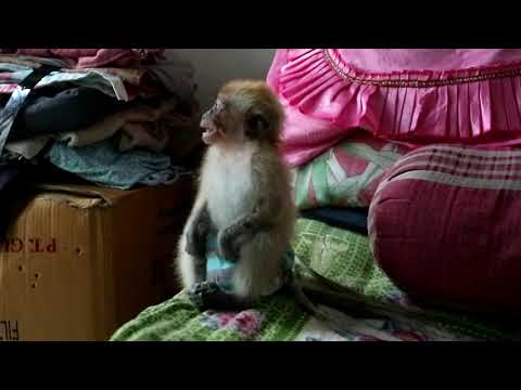 Baby monkey is crying loudly because ignored by Mum