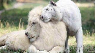 Weißer TIGER & LÖWE haben Babies bekommen... unglaublich & süß zugleich!