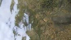 Lâcher de truites de toutes tailles dans une rivière du couserans.