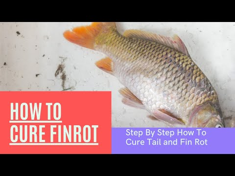 How To Cure Fin And Tail Rot Step By Step