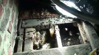 Abeilles. Déloger une colonie installée entre plafond et plancher.    Honey bee colony removal