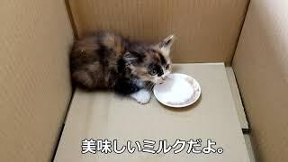 【保護猫】子猫ちゃんミルクを飲んで・・。Protection Cat Kitten Drinking Milk.
