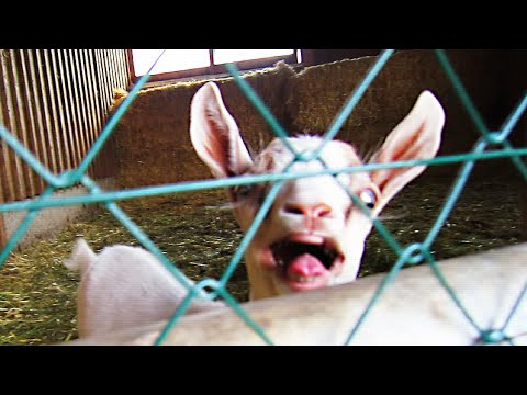 Goat Screaming Like Crazy