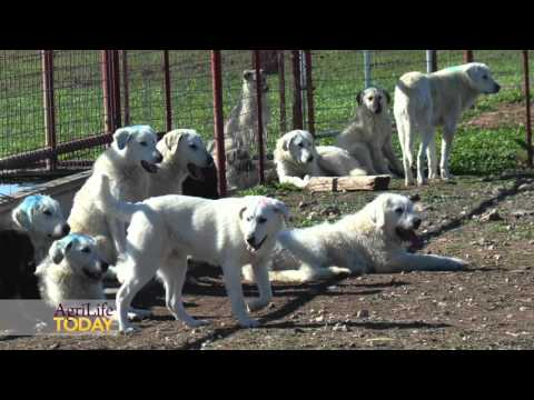 Livestock guardian dogs come to Texas