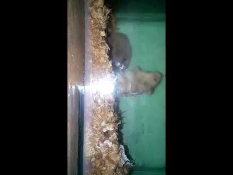 Proses hamster kawin