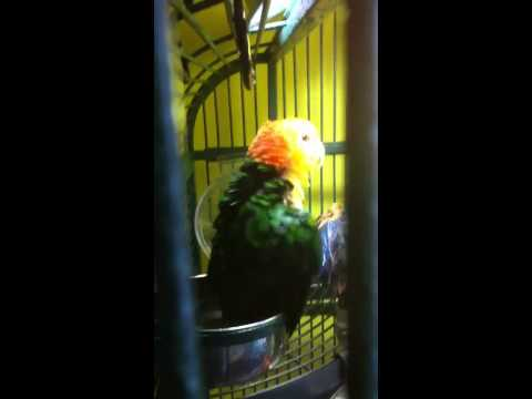 White bellied Caique