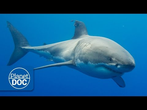 Australia. The Great White Shark | Full Documentary