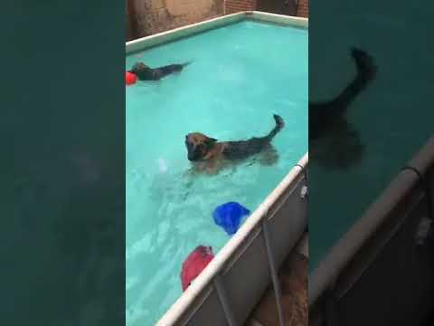 Dogs Swimming in the Pool | Dogs love to Swim