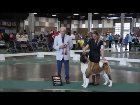 Empire Akitas TV - Tuff First Show ~ WESTERN WASHINGTON CLUSTER SHOW 7/10/17