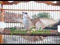 Trucuk Apapun  Nyaut Gacor Dengan Pancingan Kompilasi Trucuk Garuda  Mp3 - Mp4 Download