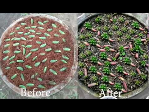 How To Propagate Succulent Jelly Bean Very Easy (Indoor Plant)