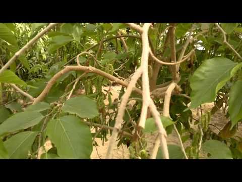 أشجار مميزة التوت الجامبو - Gulf Plants
