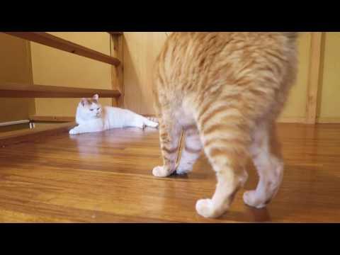 遊ぶ茶トラ Cat playing 2016#12