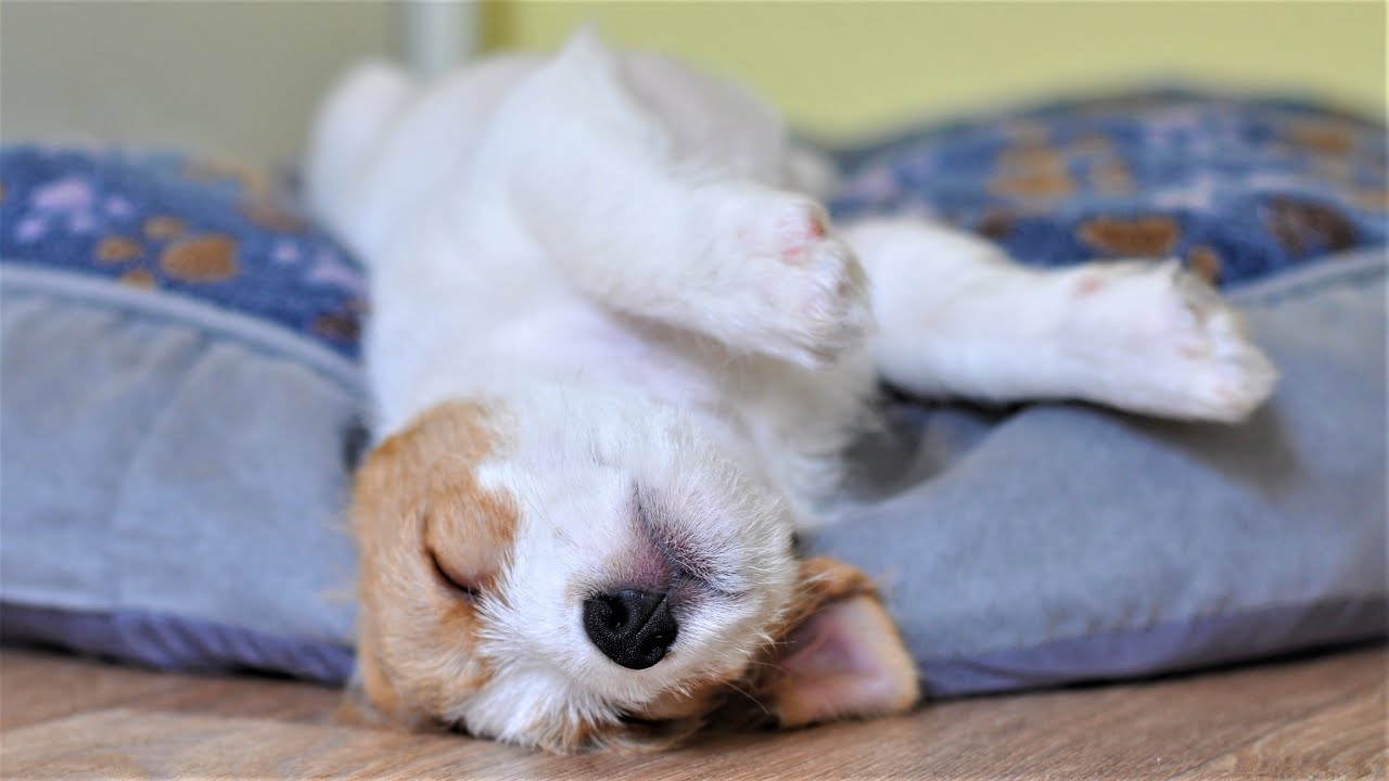 Cute Puppy sleeping sweetly. The Puppy sleeps in funny poses. Funny Puppy Jack Russell Terrier