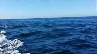 dauphin et sardine