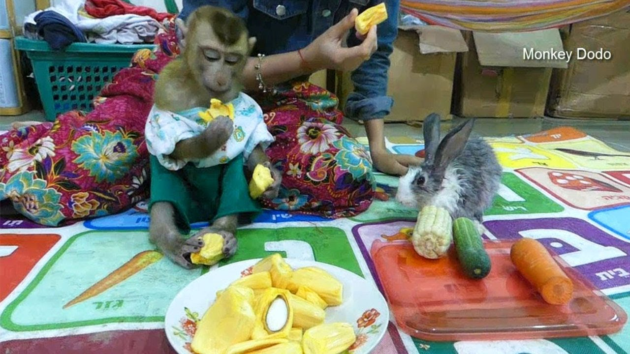 Baby Monkey Dodo Really Happy To Eat Jack-fruit With Mom