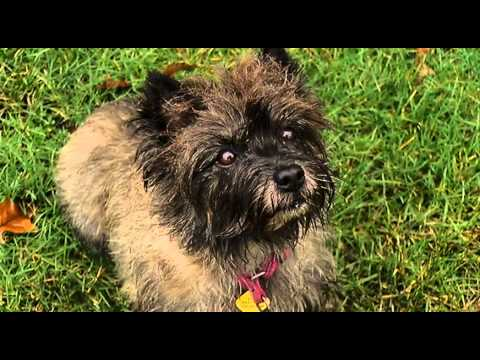 Nanaimo Kennel Club - Cairn Terrier