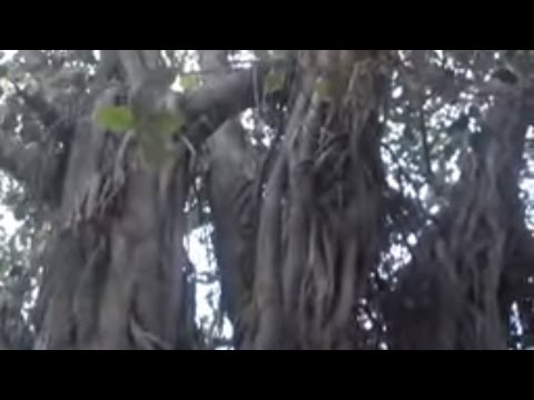 Banyan Tree | Banyan Tree Park | Banyan Tree Bonsai | 50 Years Old Tree (Urdu/hindi)