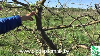 видео Обрезка плодовых пород деревьев