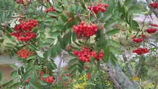 마가목 열매