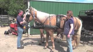 Horses rearing/bolting when being put to carriage - after training.