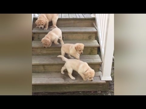 adorable seven puppies learning to climb stairs will make