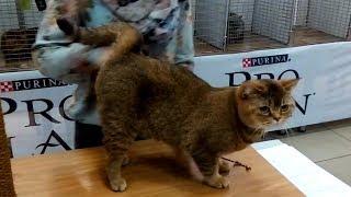 👍 СУПЕР Шикарная Кошка Британской Породы 🐱 Шоколадный БРИТАНЕЦ | ПОРОДЫ КОШЕК